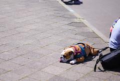 Zunge (Bokko.) Tags: summer summervibes summerweather lazydog dog leipzig street fujifilm fujix provia fujiprovia
