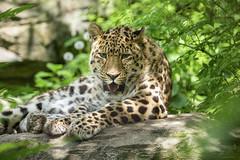 Leopard (DeanB Photography) Tags: 1dx 2019 animals leipzig löwe sigma sigma150600 tier tiere tierwelt zoo animal