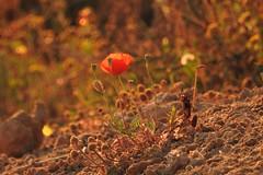 Рoppy (unicorn7unicorn) Tags: мак wah закат sunset 52weeksthe2019edition bokeh colorfulnature spotlight