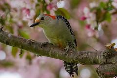 IMG_9403 red bellied woodpecker (starc283) Tags: starc283 wildlife canon 7d bird birding birds flickr flicker outdoors outdoor nature natures finest watcher tree grass food animal forest redbelliedwoodpecker