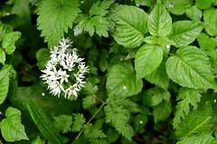 Wild Garlic (maddpete) Tags: garlic wildgarlic flower greem leaf