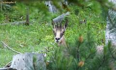 Face à face avec un chamois...une surprise réciproque ! (Mont Ventoux - Vaucluse - 25 juin 2018) (2) (Carnets d'un observateur de la nature du Sud de la) Tags: montventoux nature biodiversité chamois vaucluse provence