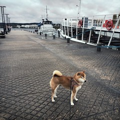Morning Walk (pjen) Tags: shibainu shibaken nihonken hiro dog shiba koira primitive breed spitz japanese finland 日本犬 柴犬 urajiro 10years spring cloudy rainy harbor boats ships