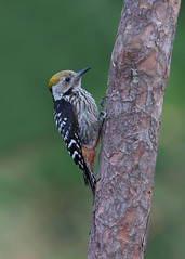 Brown-fronted Woodpecker (Yamil Saenz) Tags: