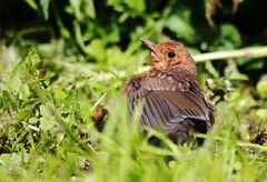 Juvenile Blackbird. (Chris Kilpatrick) Tags: chris canon canon7dmk2 outdoor wildlife nature blackbird juvenile bird animal autreppes picardie france laisne garden sigma150mm600mm sigma spring
