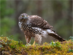 WOODLAND FEMALE GOSHAWK (d1ngy_skipper) Tags: goshawk britishwildlife britishbirds birdsofprey raptors europeanwildlife englishnature norway