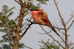 Guêpier carmin Carmine bee-eater (Le Méhauté Sébastien) Tags: carmine beeeater guepier carmin africa south wild life wildlife sauvage nature oiseau bird rufousnaped kruger parck