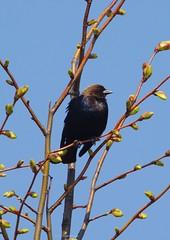 Male cowbird (S. J. Coates Images) Tags: migration songbird blackbird cowbird
