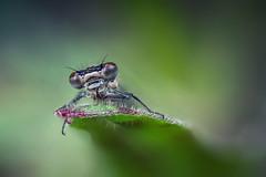 ...Federlibelle... (rhonz.photo) Tags: libelle natur makro stack bokeh wildlife