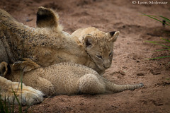Mother's Day 2019 (leendert3) Tags: leonmolenaar wildlife southafrica krugernationalpark nature naturereserve wilderness mammal africanlion ngc npc coth5