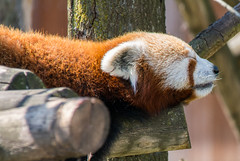Red Panda. (Azariel01) Tags: 2019 antwerpen belgique belgium zoo bird redpanda pandaroux ailurusfulgens mammifère mammal asleep endormi