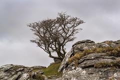 Tree on  Combeshead Tor - NK2_7292 (Jean Fry) Tags: combesheadtor dartmoor dartmoornationalpark devon englanduk moorland nationalparks trees uk westcountry graniterocks hawthorn rocks tors lonetree