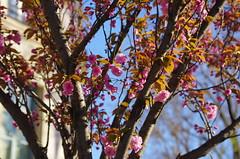 470 Paris en Mars 2019 - quai de l'Hôtel de Ville (paspog) Tags: paris france mars march märz 2019 quaidelhôteldeville fleurs flowers blossoms blumen