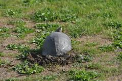 A nice soft lawn, what more can you ask for? (reifelbirdsanctuary) Tags: redearedslider trachemysscripta turtle nest may coastal invasive britishcolumbia ladner delta georgecreifelmigratorybirdsanctuary reifelbirdsanctuary ramsar243canada fraserriverestuary fraserriverdelta nesting wetland