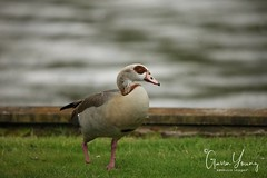 One footed Egyptian Goose (Gavin E Young) Tags: