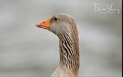 Egyptian Goose Portrait (Gavin E Young) Tags: