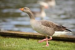 Egyptian Goose (Gavin E Young) Tags: egyptian goose bird canon 5ds