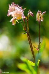 Ancolies (didier95) Tags: ancolie colombine fleur fleurjaune bokeh jaune
