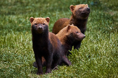 DSCF6420_1 (Ekaline) Tags: animal nature zoo peaugres chien des buissons canidé bush dog canid