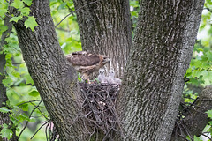 Happy Mother's Day (johnbacaring) Tags: mothersday redtailhawk redtail hawk wildlife nature birds birding raptor chick chicks nestingbirds nest canon