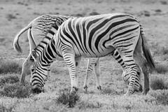 (Raphs) Tags: southafrica addoelephantnationalpark blackandwhite monochrome grassland zebra grazing easterncape burchellszebra equusquaggaburchellii two side raphs canoneos70d canonef75300mmf456usmiii