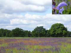 Healthy Purple. Meadow Sage, Salvia pratensis, Océ-weerd, Meuse Corridor, Venlo, The Netherlands (Rana Pipiens) Tags: meadowsage meadowclary salviapratensis flower purple blue wildflower océweerdmeusecorridorvenlothenetherlands health unenvironmentreport2019