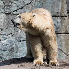 Polar Bear and Cub (mistermacrophotos) Tags: high contrast polar bear nature zoo copenhagen denmark canon 5d mk4 zoom 300m cub baby animal motherhood yellow summercoat look closely