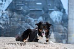 Yatzy (Flemming Andersen) Tags: dog bordercollie graffiti outdoor yatzy pet animal hanstholm northdenmarkregion denmark