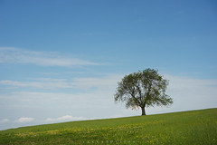 *** (Lee|Ratters) Tags: sony a7 voigtlander cv40 f12 deerleap somerset levels lone tree summer light green spring
