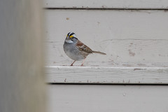 White-throated Sparrow-19-001 (Ian L Winter) Tags: birds ianwinterphoto nature newfoundland renews whitethroatedsparrow wwwianwinterphotocom