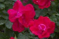 Fresh after the rain (Tim Brown's Pictures) Tags: washingtondc neighborhoods flowers blossoms blooms color roses garden washington dc unitedstates