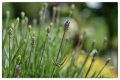 DSCF0523 (elmar2018) Tags: lavendel garten blüten bokeh fujifilmxpro1 fujinonxf35mmf14