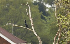 Cormorant perched on a branch (Gavin E Young) Tags: cormorant bird perched tree