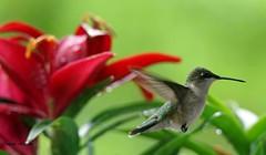 Hummingbird (angelbrd59@yahoo.com) Tags: hummingbird