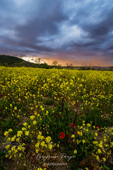 Ropeseed Field at Sunset (Benjamin PREYRE Photography) Tags: preyre benjaminpreyre landscape paysage light lumière sunset coucherdesoleil crépuscule dawn rope ropeseed colza champ field poppies poppy coquelicot sky ciel cloud nuage nikon nikkor d600 1835mm france gard calvisson occitanie nature flower fleur
