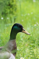 Monsieur (pascal445) Tags: canard campagne garden jardin bokeh green nature animaux animal duck campaign animals