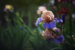 Iris nel Giardino (pfrullo) Tags: iris giardinodegliiris firenze fiori colori petali bokeh
