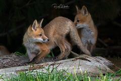 Red Fox - Vulpes vulpes   2019 - 1 (RGL_Photography) Tags: carnivora fox foxkits gardenstate jerseyshore kits monmouthcounty mothernature newjersey nikond5 nikonafs600mmf4gedvr redfox us unitedstates vulpesvulpes wildkingdom wildlife wildlifephotography
