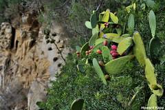 Frutos espinosos. (Howard P. Kepa) Tags: cataluña llafranc acantilado costa chumbera vegetacion cabodesansebastian