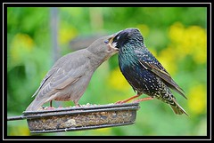 """Hey...There's No Need To Bite Me Bloomin' Head Owf...!!! "" (NikonShutterBug1) Tags: nikond7100 tamron18400mm birds ornithology wildlife nature spe smartphotoeditor birdfeedingstation bokeh wings starling birdsfeeding"