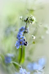 Forget-me-not (ElaR.) Tags: nature naturefantasy naturecomposition naturebeauty naturecolours plants flowers flowerbeauty springflowers springplants forgetmenot meadow meadowplants meadowflowers meadowfantasy meadownooks meadowcomposition nikon outside blue blueflowers