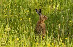 Brown Hare (jonathancoombes) Tags: brown hare rabbit mammal grass wildlife nature explore