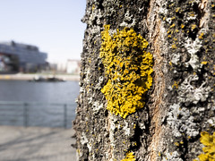 Yellow Lichen (AnnIiro) Tags: lichen tree yellow bark sea foreground macro minimalist less