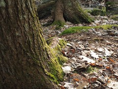 Afternoon light in the woods (bdnilss2) Tags: forest landscape macro moss maine woods