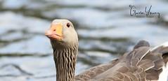 Egyptian Goose (Gavin E Young) Tags: egyptian goose bird canon 5ds water river wildfoul