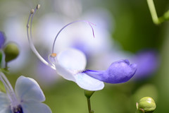 sheer delicacy (Cori Mordaunt) Tags: delicate diaphanous intricate dainty wispy flower allangardens toronto nikon nikond600
