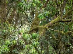 Rongai gate forest, Kilimanjaro NP, Tanzania (Amdelsur) Tags: parcdukilimandjaro continentsetpays tanzanie afrique africa kilimanjaronationalpark tz tza tanzania kilimandjaro