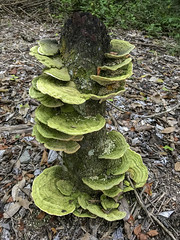 funghi infested trunk (ikarusmedia) Tags: trunk soil leaves green funghi rainforest trees el hormiguero flora nature branches calakmul reserve campeche mexico mushrooms