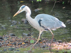 Heron on the River Crane (river crane sanctuary) Tags: heron waterbird rivercranesanctuary bird