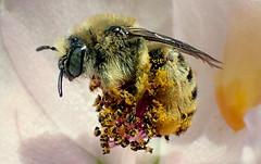 Chimney Bee (Didasia sp) (J.Thomas.Barnes) Tags: